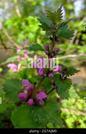 Lamier rouge (Lamium purpureum)