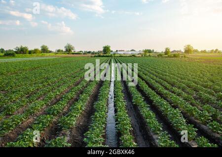 L'eau traverse un canal d'irrigation sur une plantation de pommes de terre. Fournir au champ de l'humidité vitale. Irrigation de surface des cultures. Européen f