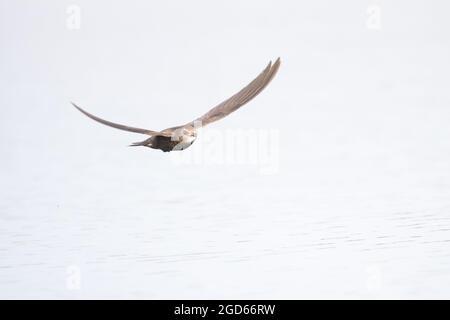 Common Swift (Apus apus) Norwich GB Royaume-Uni juillet 2021
