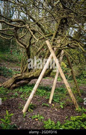 Un arbre en bois d'acier mature Parrotia persica endommagé dans les vents élevés soutenu par des supports en bois dans les jardins de Trenance à Newquay dans les Cornouailles.