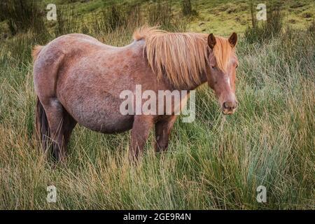Un emblématique poneys bodmin sauvages qui paissent sur le bodmin Moor dans les Cornouailles.