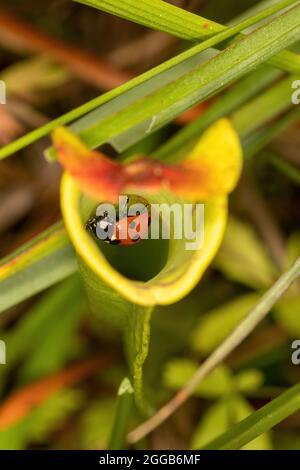 Un coccinelle (coccinelle) piégée à l'intérieur d'une plante de pichet, une plante carnivore, sur une tourbière, au Royaume-Uni