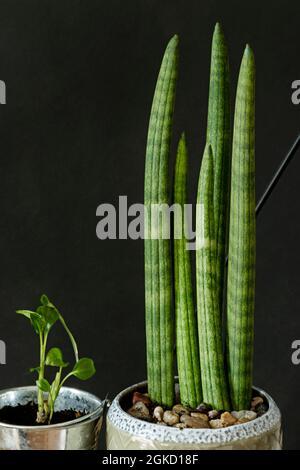 sansevieria cyirculaire et petit spathiphyllum dans des pots à fond noir. Plantes d'intérieur décoratives