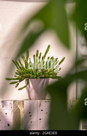 jolie hylocereus undatus en pot rose parmi les plantes vertes sur la terrasse urbaine d'un grenier. Plantes décoratives à l'intérieur et à l'extérieur