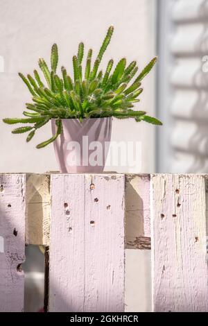 Hylocereus undatus au soleil en pot rose sur palette peint à la craie