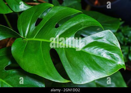 Feuilles vertes de monstère ou de monstera deliciosa dans des couleurs sombres, fond de forêt tropicale ou feuilles de feuillus vertes pour. Feuille sur plante maison monstère vert.