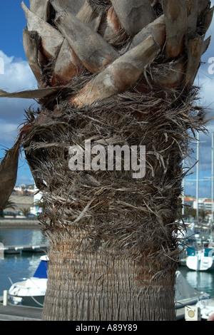 La texture et le détail dans le tronc d'un palmier. Banque D'Images