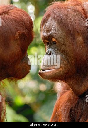 Deux orang-outan communication Banque D'Images