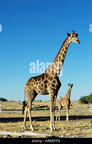 Girafe, Giraffa camelopardalis, Etosha National Park, Namibie, Afrique Banque D'Images