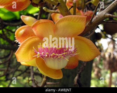 Flower Couroupita guianensis, cannonball Arbre, fleur rare close up, Caracas venezuela Banque D'Images