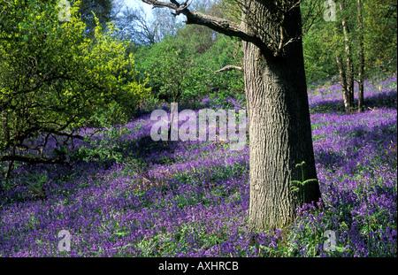 Jacinthes des bois aux couleurs vives qui couvre le sol autour d'un tronc d'arbre en bois de bluebell Banque D'Images