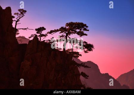 Pins, nuage blanc scenic area, Huang Shan (Mont Huangshan (montagnes jaunes)), la Province de l'Anhui, Chine Banque D'Images