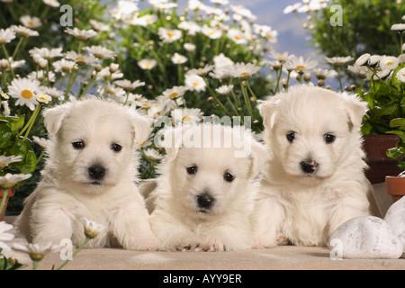 Westhighland White Terrier - trois chiots en face de fleurs Banque D'Images