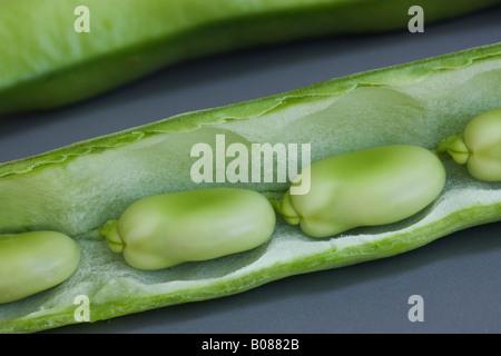 Les fèves en gousses ouvertes. Banque D'Images
