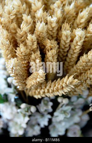 Les épis de blé close up Banque D'Images
