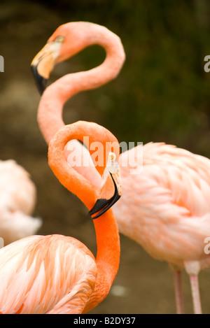 Caraïbes République dominicaine Punta Cana parc Manati Couple de flamants roses avec tendit le cou Banque D'Images