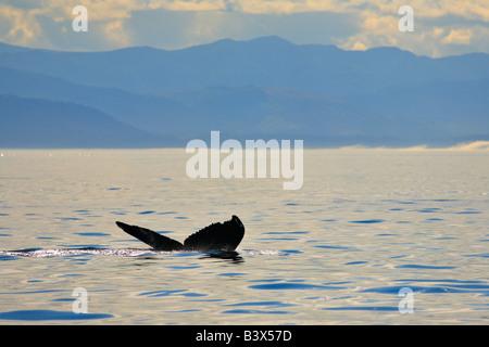 La nageoire caudale de petits rorquals dans le détroit de Juan de Fuca Victoria British Columbia Canada Banque D'Images