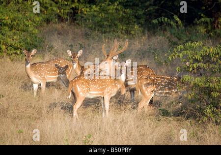 Un troupeau de cerfs dans le parc national de Ranthambore, Rajasthan, Inde Banque D'Images