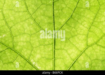 Nervures des feuilles vert Banque D'Images