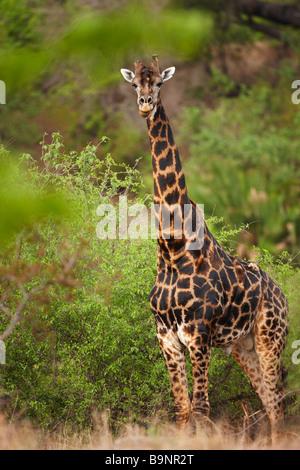 Girafe dans la brousse, Kruger National Park, Afrique du Sud Banque D'Images