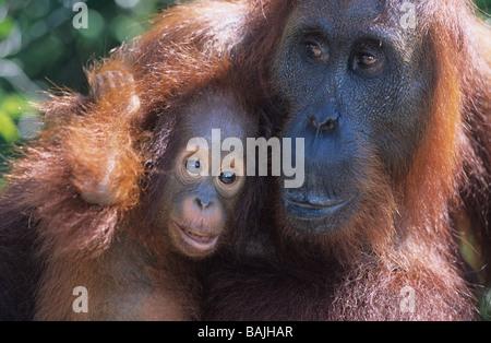 Faire place au jeune orang-outan, close-up Banque D'Images