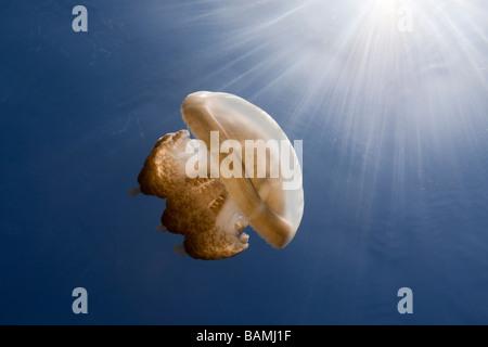 En Méduses Mastigias papua Mastigias Rétroéclairage etpisonii Jellyfish lake Micronésie Palau Banque D'Images