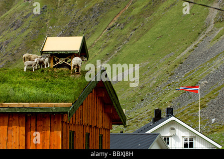 Moutons sur un toit îles Lofoten en Norvège. Banque D'Images