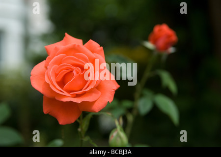 Rose rouge fleur et bud dans jardin urbain sur un fond sombre, England, UK Banque D'Images