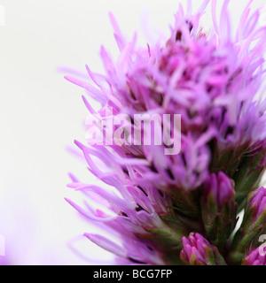 Liatris sur blanc fine art photography Photographie Jane Ann Butler JABP415 Banque D'Images