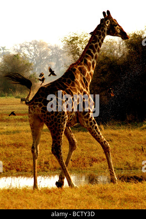 Girafe (Giraffa camelopardalis) debout dans un champ, Chobe National Park, Botswana Banque D'Images