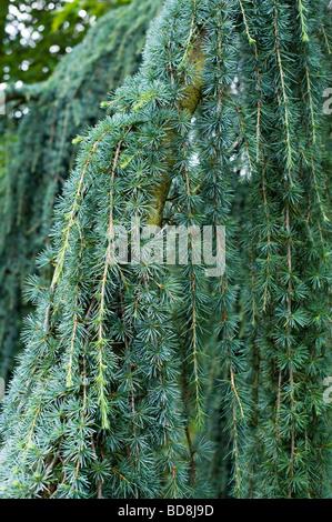 Cedrus atlantica 'glauca pendula'. Cèdre de l'atlas bleu pleureur feuillage des arbres Banque D'Images