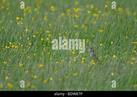 Râle des genêts Crex crex en appelant hay meadow sur l'île de South Uist, îles de l'Ouest, de l'Écosse. Banque D'Images