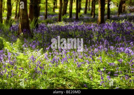 Photo de rêve de bluebells à sunny woods près de Symonds Yat, Herefordshire au printemps avec les rayons du soleil Banque D'Images
