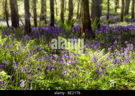 Photo de rêve sous le soleil de jacinthes des bois brumeux près de Symonds Yat, Herefordshire au printemps avec Banque D'Images