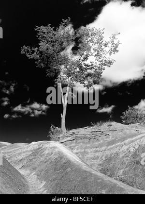 Seule la plantation d'arbres sur une colline escarpée dans Badlands Ontario Canada Banque D'Images