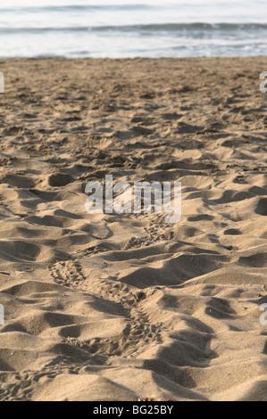 Les voies de bébé tortue caouanne (Caretta caretta) juste éclos hors du nid et fait son chemin vers la mer. Près Banque D'Images