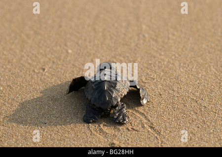 Zante. Île grecque. Octobre. Bébé tortue caouanne (Caretta caretta) juste éclos hors du nid de faire son chemin Banque D'Images