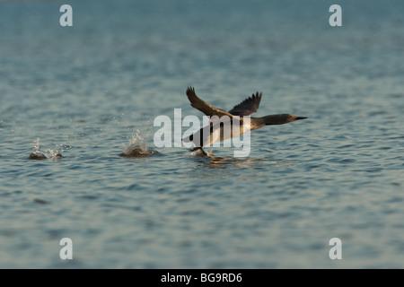 Jiujitsu (Gavia stellata) taking flight, Oulu, Finlande Banque D'Images