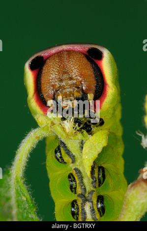 Puss Moth (Cerura vinula) Gros plan sur l'alimentation de Caterpillar willow chèvre, Oxfordshire, UK. Banque D'Images