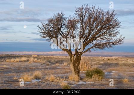 La pleine lune se couche derrière un arbre isolé sur terrain à vendre à Carrizozo, Nouveau Mexique. Banque D'Images