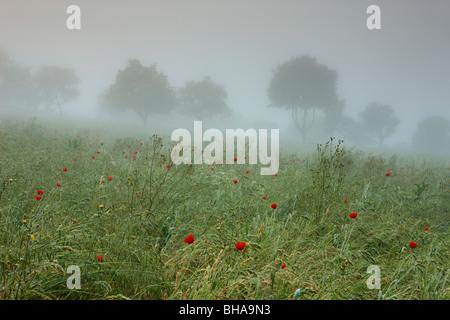 Coquelicots dans la brume nr Preci, Valnerina, Ombrie, Italie Banque D'Images