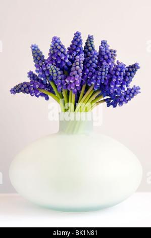 Bouquet de muscari ou muscaris dans un vase peut sur un fond blanc. Banque D'Images