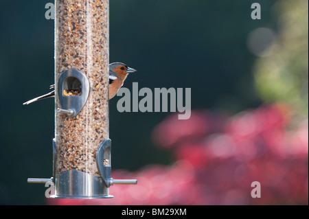 Fringilla coelebs. Chaffinch mâles se nourrissent d'une alimentation pour oiseaux Banque D'Images