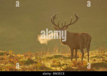 Red Deer (Cervus elaphus). Stag en rut d'automne, Leicestershire, UK rugissant Banque D'Images