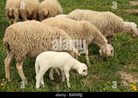Moutons et agneaux. L'Espluga Calba (Lleida) Catalogne Espagne Banque D'Images