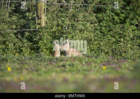 Lapin européen Oryctolagus cuniculus sur les pâturages broutés au Weston Moor, Somerset, en mai. Banque D'Images