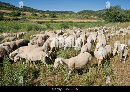Les moutons. L'Espluga Calba (Lleida). La Catalogne. L'Espagne. Banque D'Images