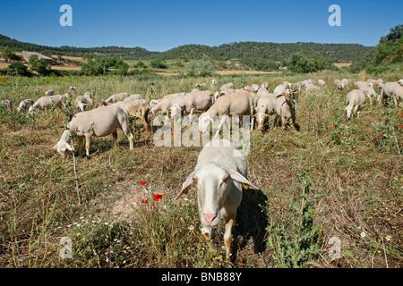 Les moutons L'Espluga Calba (Lleida). La Catalogne. L'Espagne. Banque D'Images