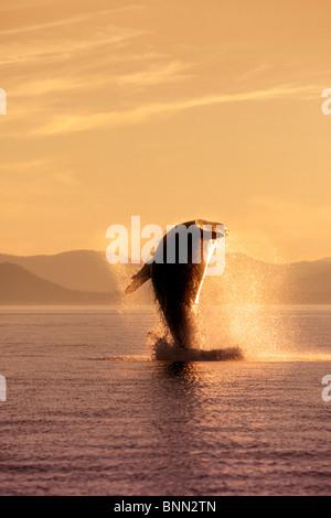 Humpback Whale Breaching dans le passage de l'intérieur SE AK été éclairé par LED Banque D'Images