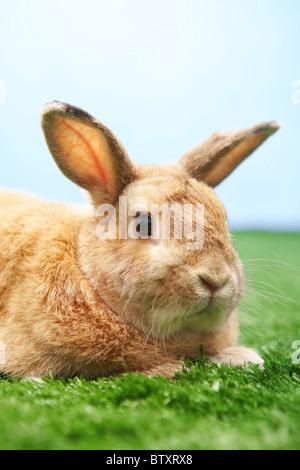 Image de lapin prudent sur l'herbe verte sur fond de ciel bleu Banque D'Images